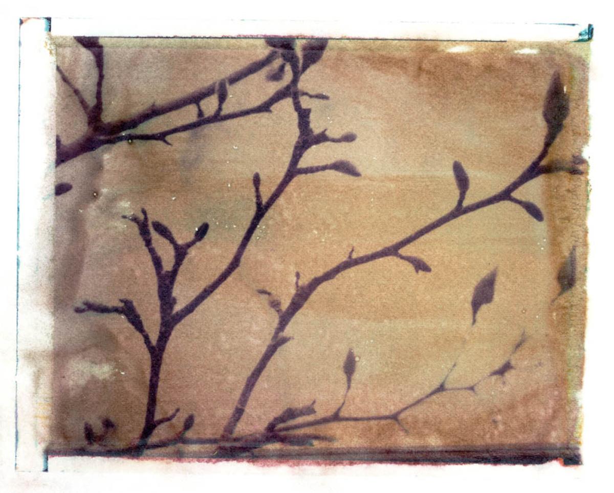 Treelines series: Magnolia Kobus - Northern Japanese Magnolia