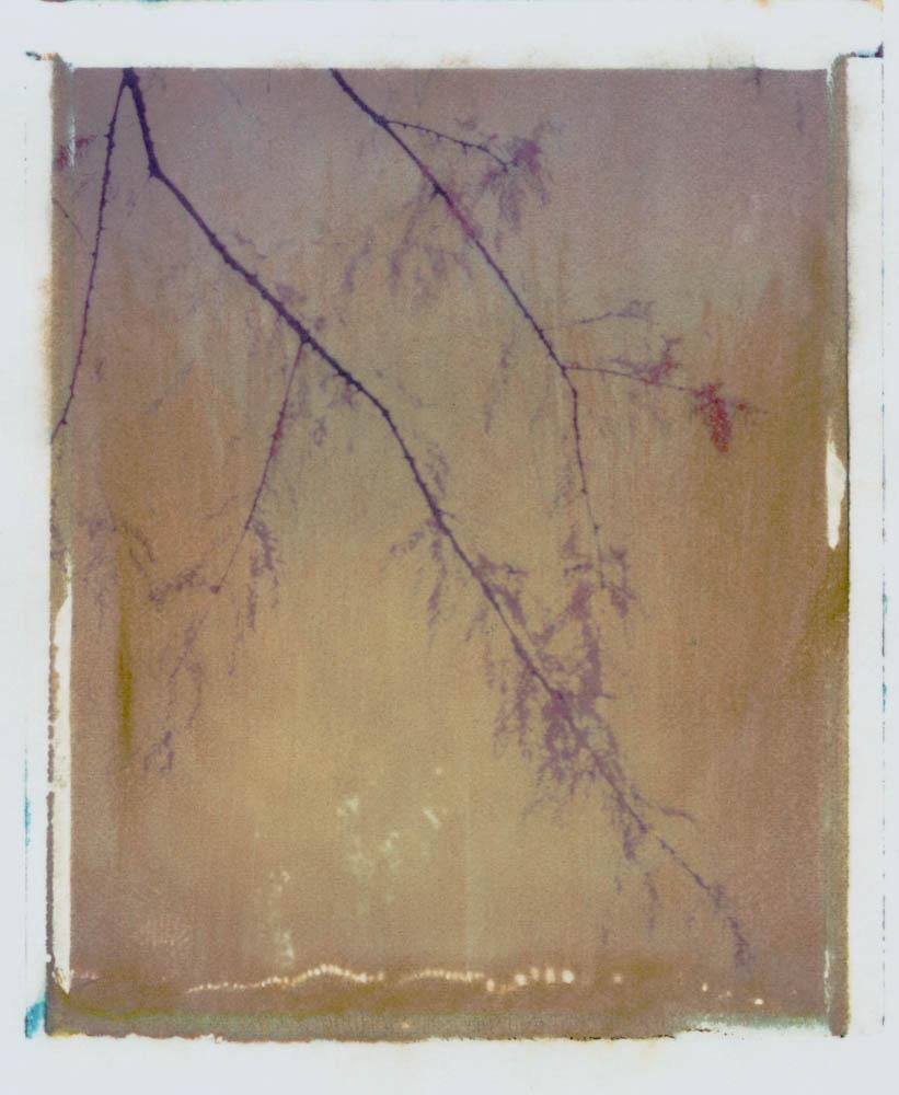 Treelines series: Taxodium Mucrona - Mexican Cypress