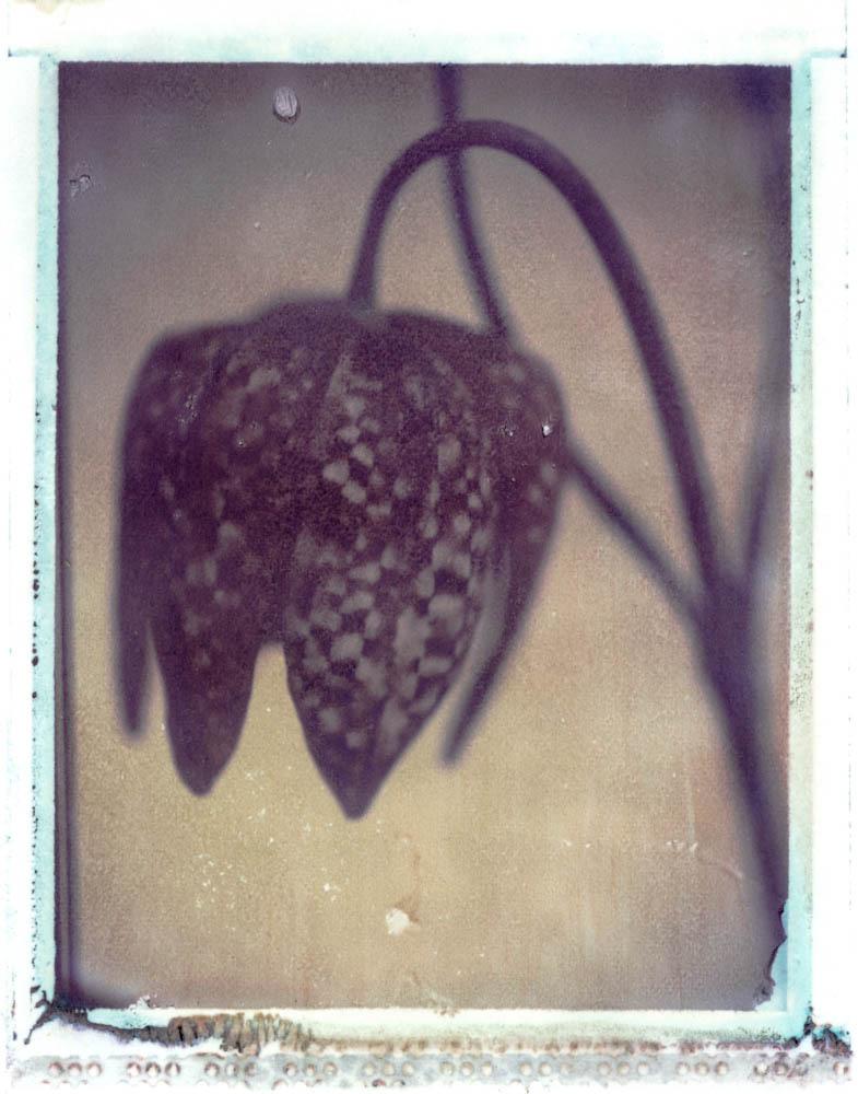 Gothic Summer series: Snakehead Fritillary