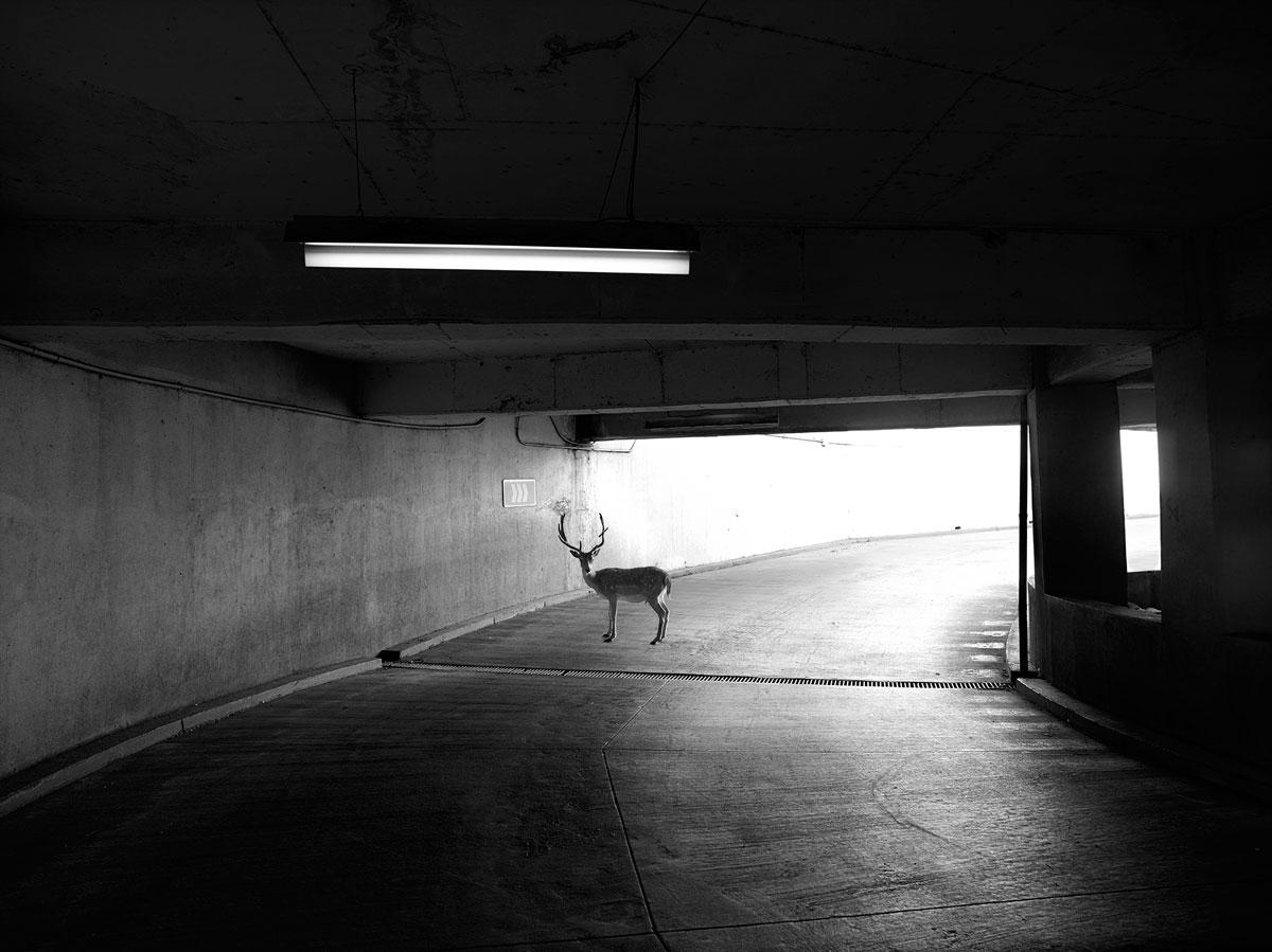 Deer, Chile, 2014
