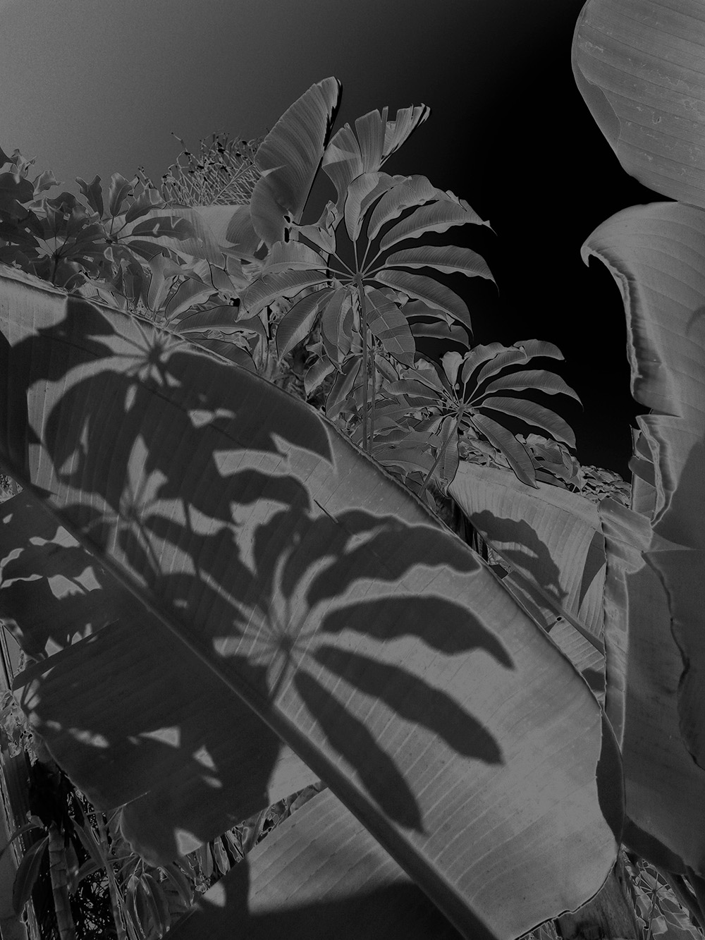 Karine Laval, Black Palms #08