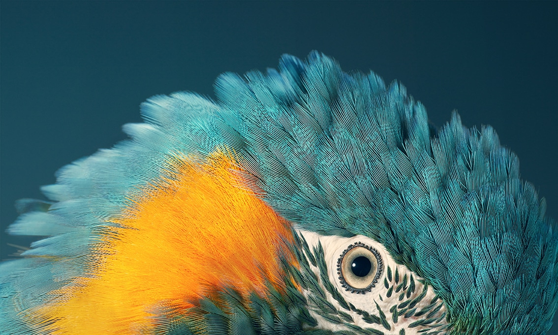 Blue Throated Macaw