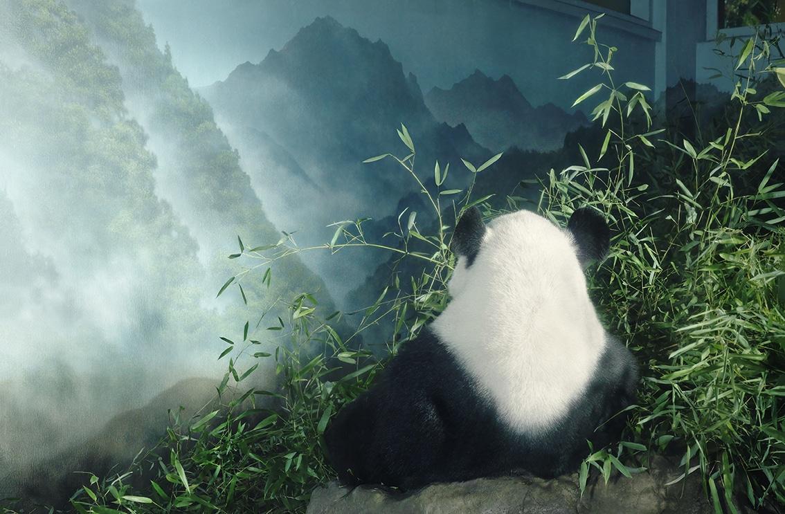 Giant Panda in Den