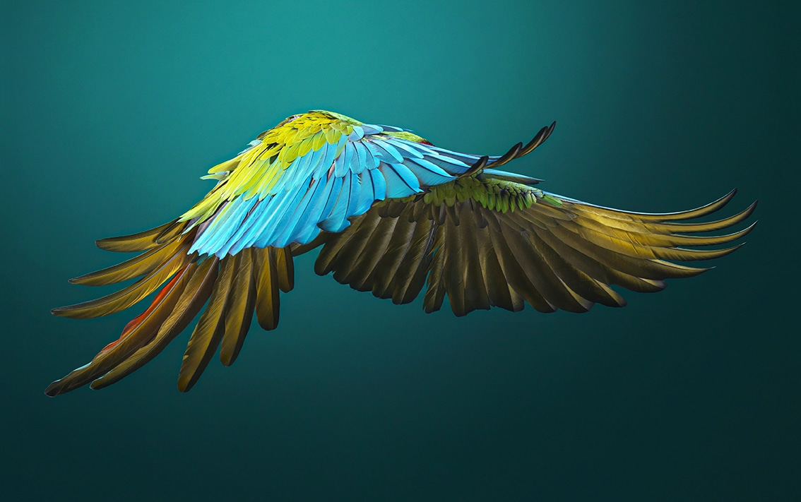 Military Macaw Side On
