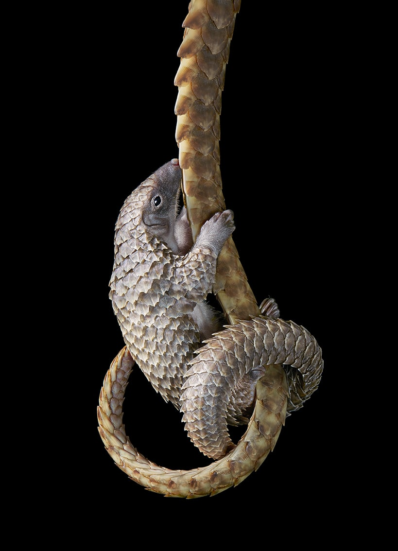 Pangolin Holding on to Mothers Tail