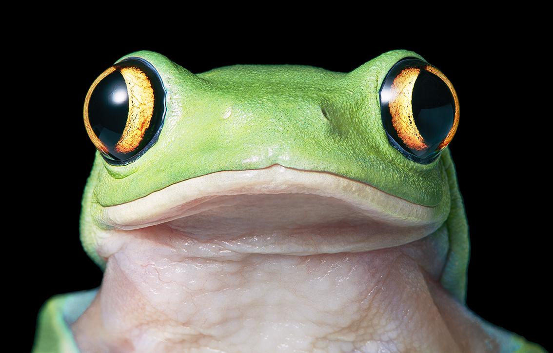 Yellow Eye Tree Frog
