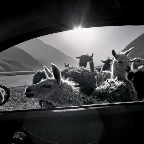 Llamas, Chile, 2014